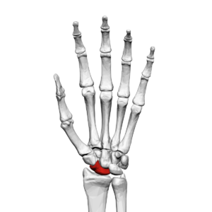 Scaphoid bone that can be affected by a scaphoid bone fracture and require treatment